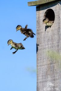 baby ducks jump out of nest